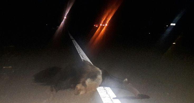 Motociclista fica ferido depois de atropelar tamanduá em Itatinga -   Fotos: Divulgação/Facebook  Um acidente envolvendo um motociclista da cidade de Itatinga foi registrado na noite desta quinta-feira, 11, na vicinal de ligação entre a cidade e a rodovia Castello Branco. Por volta das 23h30, o piloto, que voltava do trabalho, não conseguiu desviar de um  - http://acontecebotucatu.com.br/policia/motociclista-fica-ferido-depois-de-atropelar-tamandua-em-itatinga