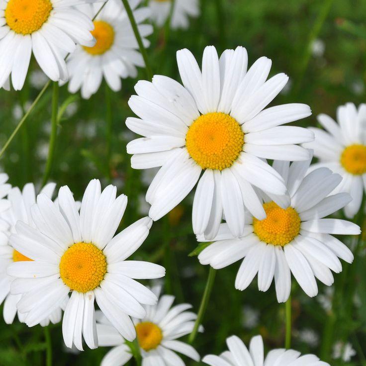 Vildform. Gammal växt inom nordisk folktro. Blomkorgar, 3-4 cm stora, med vita kronblad och gul...