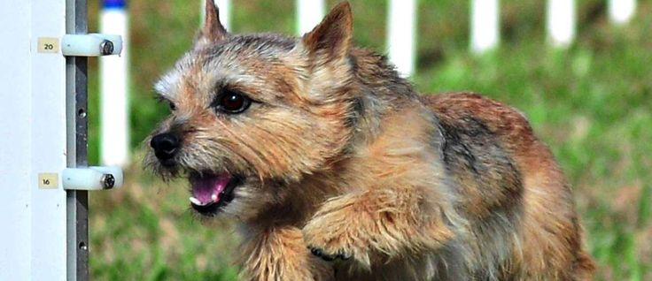 De Norwich Terriër vindt zijn oorsprong in Groot-Brittannië in de 19e eeuw. Zij zijn een van de kleinste Terriërs. Dit ras is laag, compact en sterk en de Norwich is gefokt om in groepen te jagen op konijnen en hazen in. Daarom kunnen ze meer sociaal zijn dan de andere Terrier rassen.