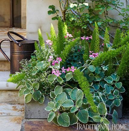Container of Foxtail ferns, diamond frost euphorbia, caliente pink geraniums, and Cuban oregano