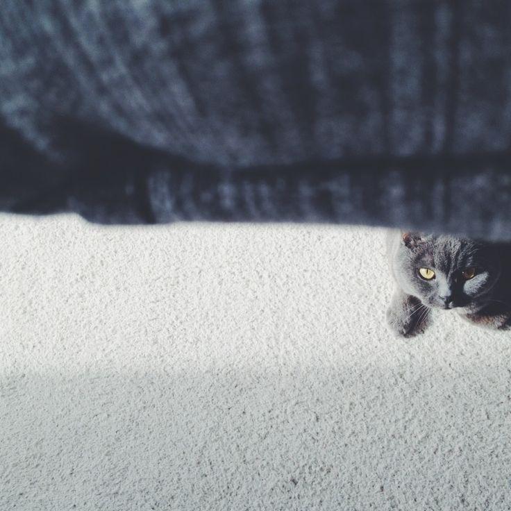 #VSCO #Cat #Britishshort  http://jinjing-deng.vsco.co