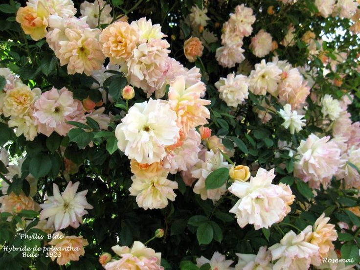 old french roses - Sharon Santoni