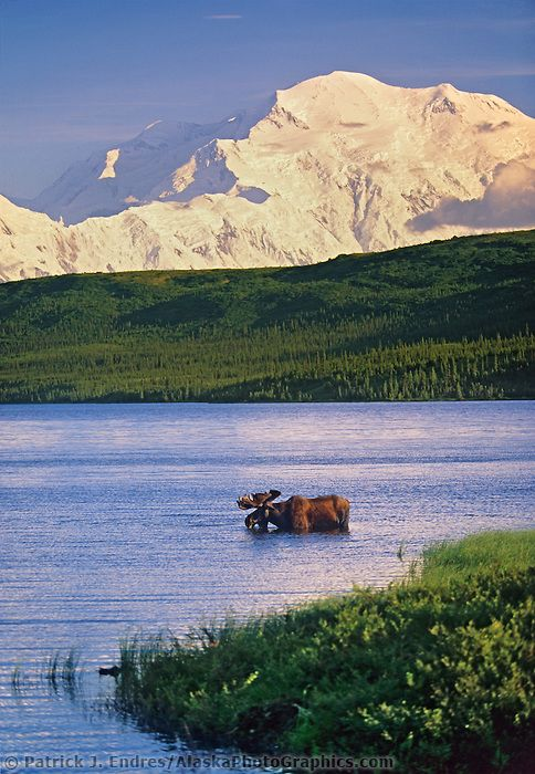 Bull moose feeds in Wonder lake, snow covered mount McKinley in the distance, Denali National Park, Alaska.Mount Mckinley, Alaska Wildlife, Denali National, National Parks, Moose Feeding, Bull Moose, Wonder Lakes, Photography Blog, Snow Covers