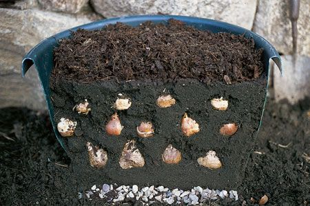 layering bulbs in planters to bloom during spring