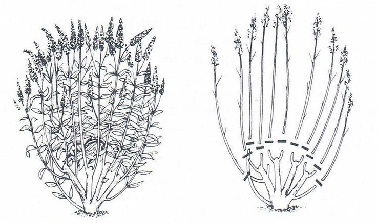 vlinderstruik snoeien Snoei alle eenjarige scheuten terug tot 2 á 3 ogen. Belangrijk is de snoei al op jonge leeftijd in te zetten. Evt afentoe 1/3 tot 20 cm snoeien