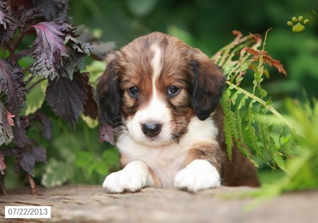 Rex English Springer Spaniel Puppy for Sale in Airville