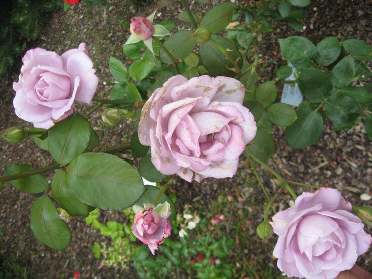 Růže 2017