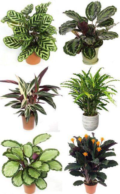 Calathea varieties