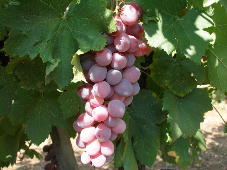 Roditis grapes---this clone is called Alepou or the Fox for its rosy pink color.  This varietal makes a delicious white wine.
