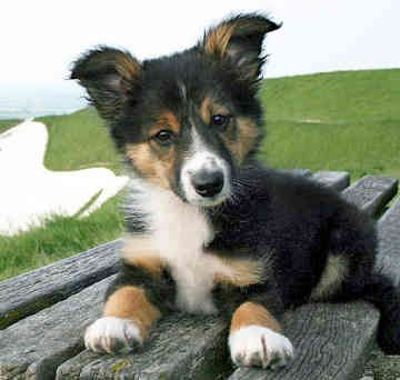 Meet the Border Collie breed: Border Collie
