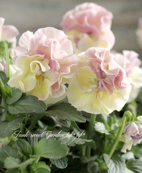 <i> Viola×wittrockiana </i><BR><BR>八重咲きパンジー<BR>フェアリーチュール<BR>落合さん育種!『ウィーン』 | 花苗 | | Junk sweet Garden tef*tef* ガーデニング雑貨・花苗