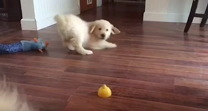 Perrito Golden Retriever intentando entender la rodaja de limón. ¡Qué cómico!