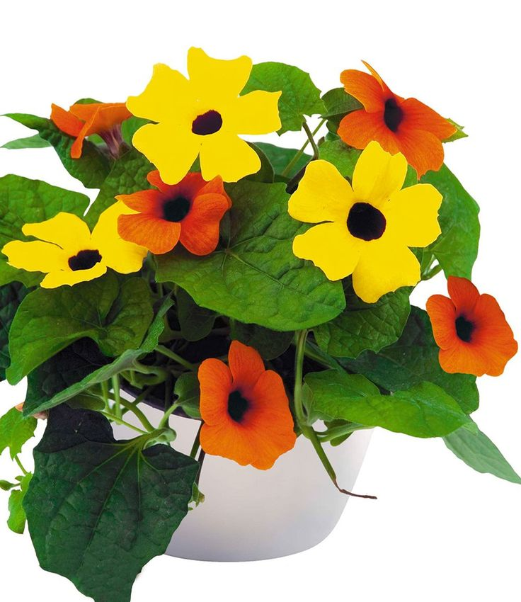 Thunbergia 'Duo Checkies®'