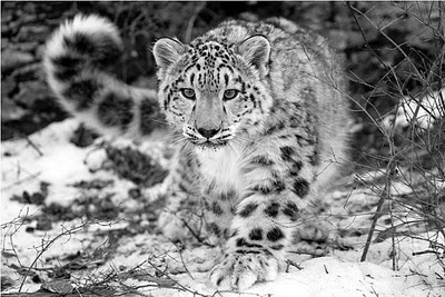 I love how the snow leopards looking right at you!