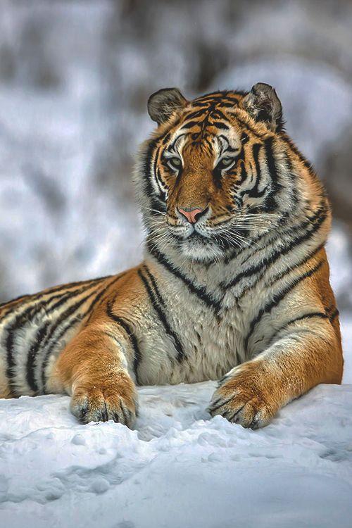 "wearevanity: "" | Siberian Snow Tiger…. | © """