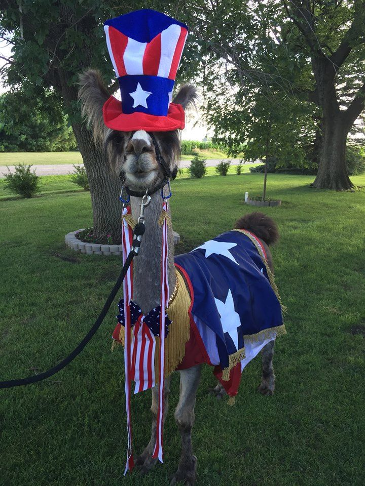 Llama costume that I made. the owner bought and added the hat. To be worn at a llama costume contest or worn at a parade.