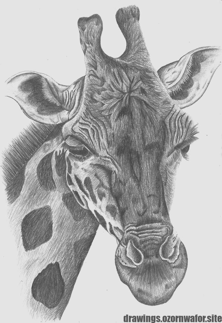 Wonderful Photo Pencil Drawing Of Animals Style Pep Speak To Further Improve Sketching Your Own Illustrating Kn Animal Drawings Animal Sketches Animal Art