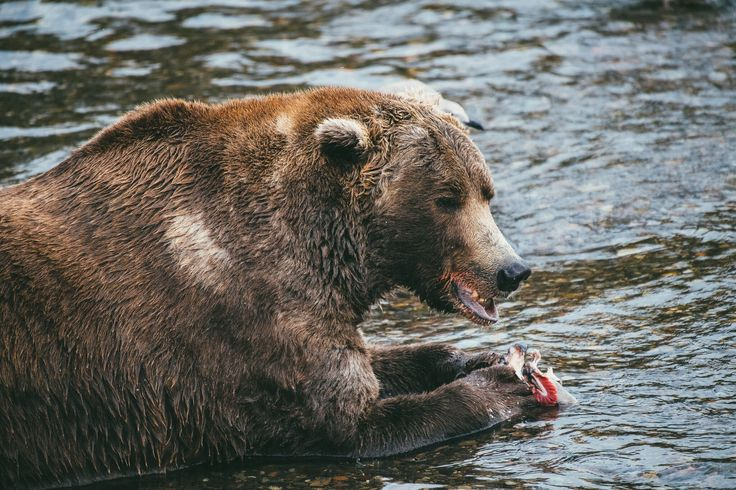Grizzly Bear lunch, Alaskan style. Photo by Kirstin Scholtz