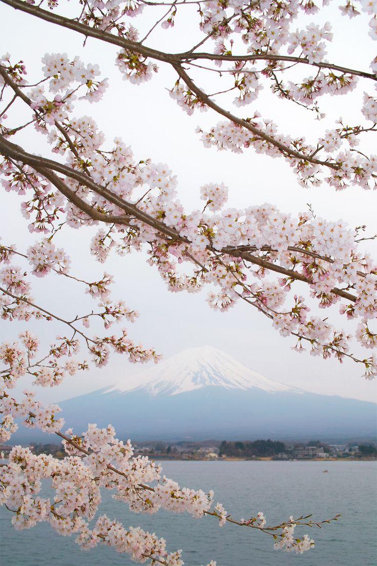 Cherry blossoms in Fujikawaguchiko share the spotlight with Mt. Fuji.