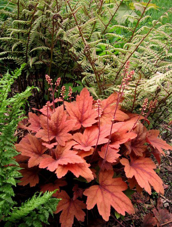 HEUCHERELLA 'Sweet Tea' rosy-orange leaves with maroon veins gradually darken as summer progresses.