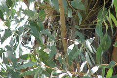 Otus scops - Avibase