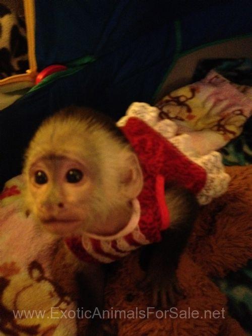 Exotic Animals for sale | monkeys | Pet monkey, Pet monkey