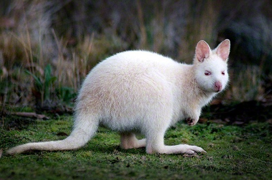 The white wallaby, unique to Bruny island...