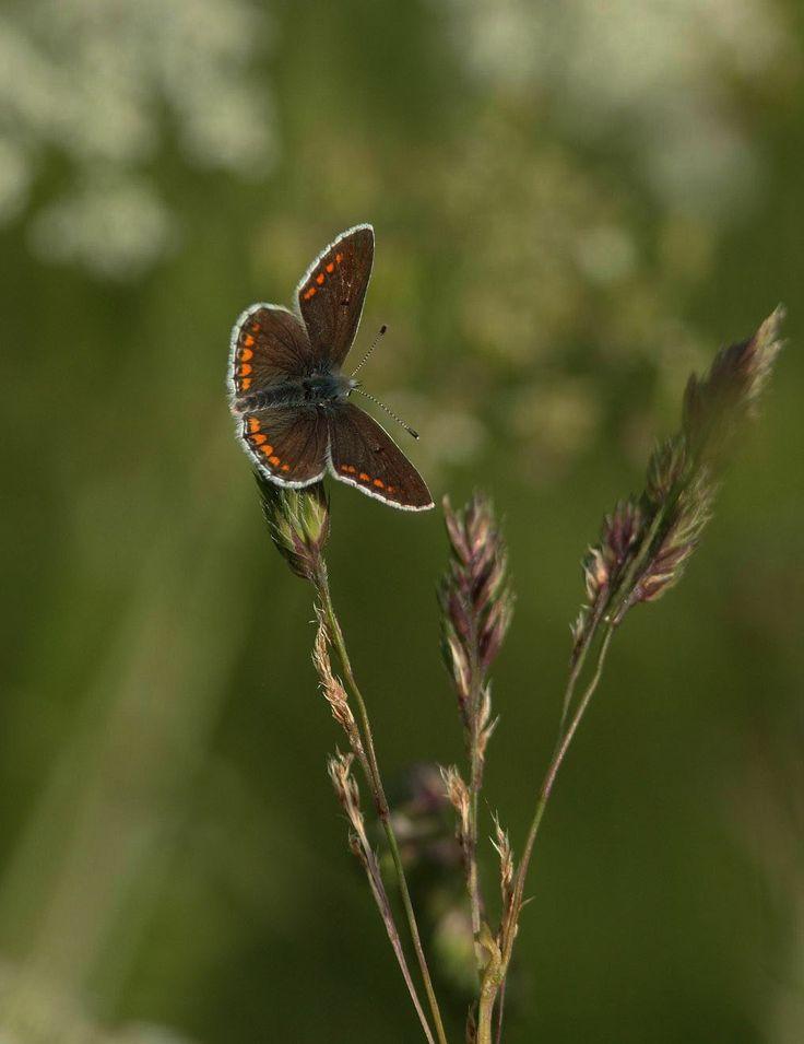 Rødplettet Blåfugl (Aricia agestis) Kendetegn: Vingefang: 23-28 mm. Oversiden er chokoladebrun med orange sømmåner. Undersiden er typisk blåfugletegnet med orange sømmåner og sorte pletter. Kroppen har tit lidt blålige hår. Selvom arten ikke har nogle blå skæl, virker den blålig, når den flyver. Levested: I små kolonier på varme, lavtvoksende, blomsterrige og tørre biotoper.