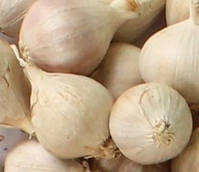 Manfaat Bawang putih Tunggal/lanang untuk Kesehatan