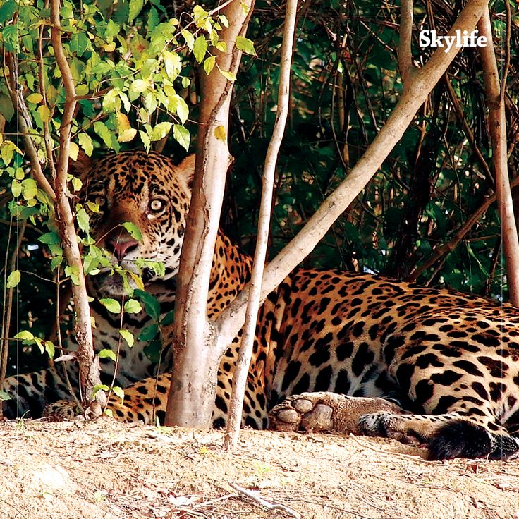 Would you like to go on a safari in the jungles of Brazil in search of the elusive jaguar?