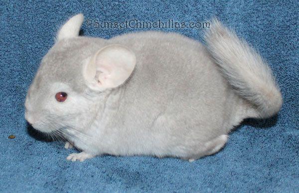 Chinchilla Colors Guide Beige Sapphire And Sapphire Baby Chinchillas Chinchilla Beige Animals
