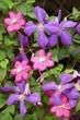 Lizenzfrei downloaden...     #abfallend #baumblätter #blüten #botanisch #clematis #floral #garten #geäst #hausgarten #knospen #macro #nahaufnahme #pflanzenwelt
