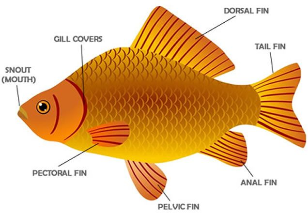 Learning the vocabulary for parts of a fish