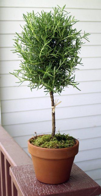 Rosemary Topiary. Need to think about this, to keep rosemary all year.
