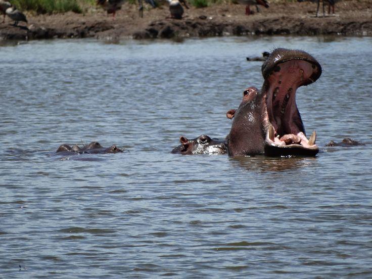 Hippo yawning amongst a pod of baby hippo SA