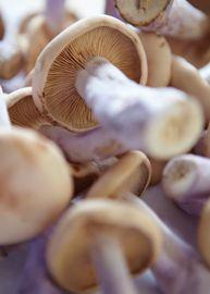 De PIED BLUE paddestoel staat bekend als de paarse ridderzwam. Deze eetbare paddenstoel word veelal gevonden in de bossen. In Nederland wordt de Pied Blue het hele jaar door geteeld, op zakken met stro en water. Bij het eten van deze paddenstoel is wel enige voorzichtigheid geboden. De paddenstoel dient eerst gekookt te worden.