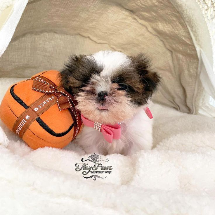 Tiny Imperial Shihtzu Puppy For Sale in 2020 Puppies for