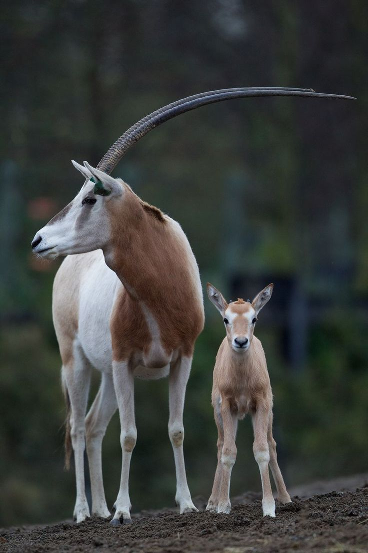 scimitar-horned oryx. A baby scimitar-horned oryx born at the Dublin Zoo. (Photo: Dublin Zoo)Extinct in the wild.