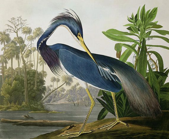 Hey, I found this really awesome Etsy listing at https://www.etsy.com/au/listing/196869463/louisiana-blue-heron-by-john-james