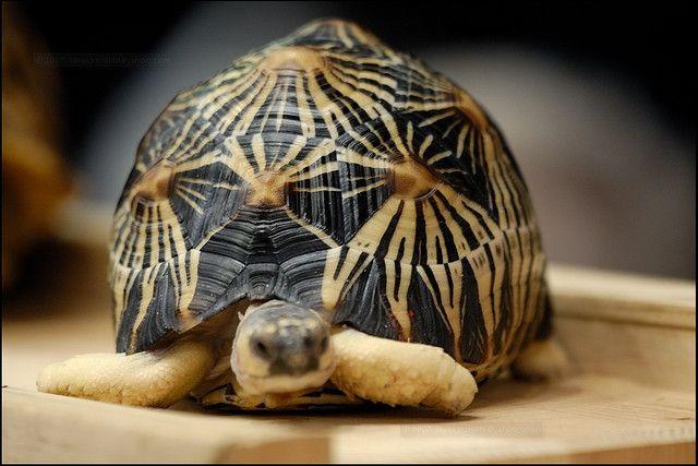 Radiated tortoise-what an unusual shell!