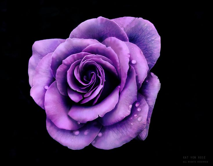Frozen Rose by Kat von Rose __________________________   #finearts #pale #violet #photography