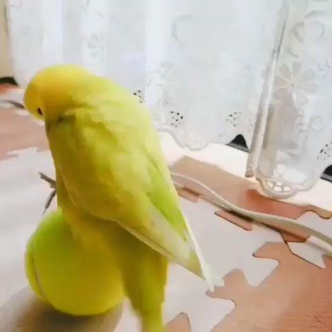 #birbs #birds #cutebirds #budgies #parakeets #birbsofinstagram #budgielover #cutebirdsofinstagram #k
