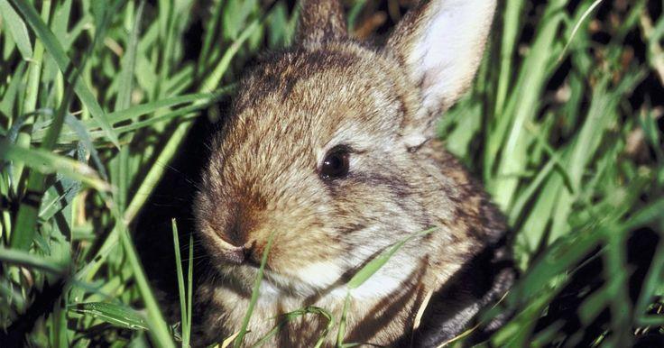 Cómo cuidar de un conejo salvaje pequeño. Divinos y al mismo tiempo vulnerables, los conejos salvajes muy pequeños pueden enfrentarse a peligros extremos si su madre está muerta o no logran volver a la madriguera. Cuidar de un conejo tan pequeño y huérfano debería ser trabajo de especialistas en la vida salvaje u otros expertos, pero tú puedes ayudar hasta cierto punto si te encuentras ...