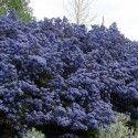 """Ceanothus impressus 'Puget Blue' - Céanothe persistante de """"Santa Barbara"""" - Lilas de Californie bleu"""