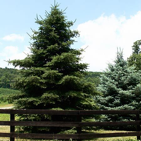 Cedar deodar evergreen trees cedrus deodara and growing for Fast growing trees