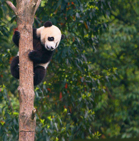 Birçok dev pandalar, bir oyuncak ayı yaşam düzenlemesinde olarak seviyorum.  Kim o - büyük değil ayı ya da çok büyük bir rakun?  Bilim adamları için, bu ayı hala en esrarengiz memelilerin biridir
