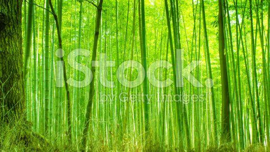 Foresta di bambù  - fotografia stock royalty-free