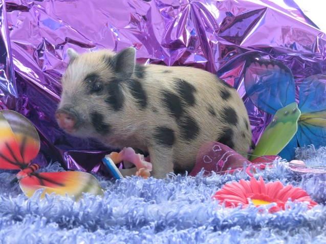 Teacup Pig.