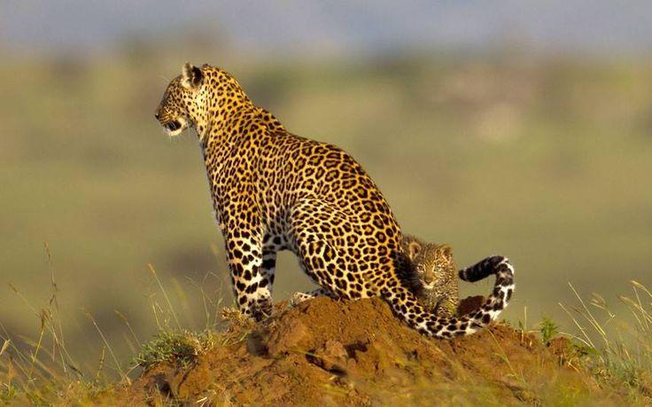 Piccoli cuccioli crescono... #Safari #Kenya