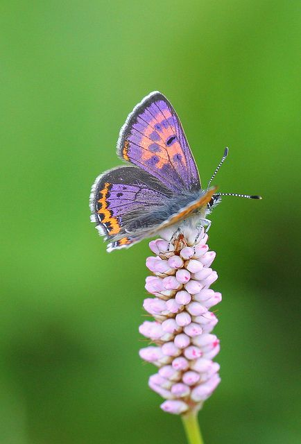 ~Violet Copper Butterfly by Clive Burrows~